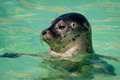 Head of harbor seal close up the a harbour or common phoca vitulina in sanctuary ecomare on the island texel netherlands Stock Photography
