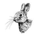 Head hare in profile, sketch vector graphics