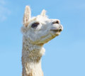 Head held high alpaca with in the sky Stock Image