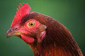 Head of hen Royalty Free Stock Images