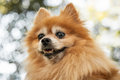 Head of heroic looking orange pomeranian dog close up a s Stock Images