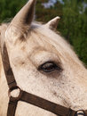 The head horse close up of an elderly white Stock Image