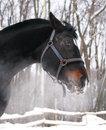 Head of a horse orlov trotter breed in winter forest Royalty Free Stock Image