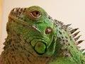 Head iguana iguana detailed of animal Royalty Free Stock Photography