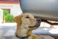 Head Labrador retriever Royalty Free Stock Photo