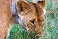 Large lioness in the savannah. Masai Mara