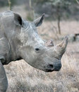 Head of large white rhino. SweetWater. Royalty Free Stock Photo