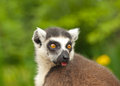 Head lemur staring detail of and eyes Royalty Free Stock Photo