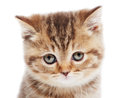 Head of little british shorthair kitten portrait chocolate cream cat isolated Royalty Free Stock Images