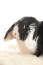Head of lop eared rabbit in close up Royalty Free Stock Photos