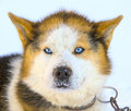 Head Malamute sled dogs on Kamchatka Royalty Free Stock Photo