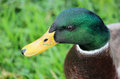 Head of male mallard duck anas platyrhynchos close up the a showing off its plumage with a small blade grass stuck to its Royalty Free Stock Images