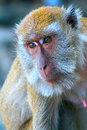 Head of a monkey macaque faces watching in distance Royalty Free Stock Photo