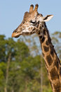 Head neck giraffe out focus trees background as walks near Royalty Free Stock Photography