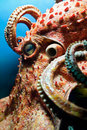 Head of an Octopus Royalty Free Stock Photo
