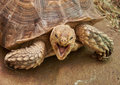The head and part of the shell African Spurred Tortoise Royalty Free Stock Photo