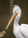 Head of pelican bird dalmatian pelecanus crispus Stock Images