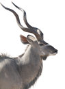 Head portrait of an african male kudu isolated on white backgrou Royalty Free Stock Photo