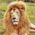Head portrait of a lion.