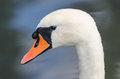 Head profile single portrait of white graceful swan Royalty Free Stock Photo