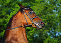 Head of rebellious bay horse Royalty Free Stock Photos