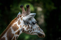 Head of Rothschilds giraffe Royalty Free Stock Photo