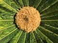 Sago palm with blossom cyca revoluta female in garden Royalty Free Stock Photo