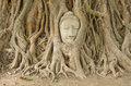 Head of sandstone buddha in the bodhi tree roots Stock Photo