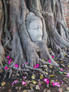 Head of sandstone buddha in the tree roots at wat mahathat ayutthaya thailand Royalty Free Stock Images