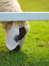 Head sheep of in farm Stock Photography