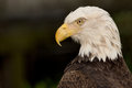 Head shot bald eagle Stock Image