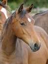 Head shot of a bay yearling in paddock other horses Stock Photo