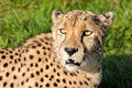 Head Shot of Beautiful Cheetah in Afternoon Sun Stock Images