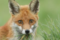 A head shot of a beautiful Red Fox Vulpes vulpes with a mouth full of grass and food. Royalty Free Stock Photo