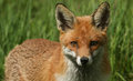 A head shot of a beautiful Red Fox Vulpes vulpes. Royalty Free Stock Photo