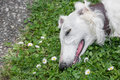 Head shot of Borzoi Russian white . Selective focus on the dog