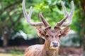 Head shot of deer Royalty Free Stock Photo