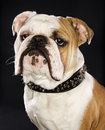 Head shot of English Bulldog. Royalty Free Stock Photo