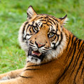 Head Shot of Growling Sumatran Tiger Stock Photography