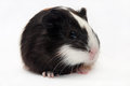 Head shot guinea pig baby over white background Stock Photography