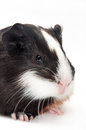 Head shot guinea pig baby over white background Stock Photo