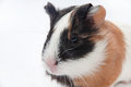 Head shot guinea pig baby over white background Royalty Free Stock Image