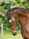 A head shot of a horse during a dressage competition Royalty Free Stock Photography