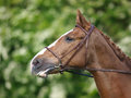 A head shot of a horse during a dressage competition Royalty Free Stock Photo