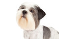 Head shot of lhasa apso dog an adorable a looking up Royalty Free Stock Photos