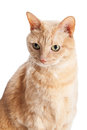 Head shot of orange tabby cat looking off to the side and slightly downwards Royalty Free Stock Images