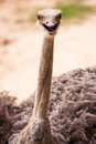 Head shot of ostrich standind in the field Royalty Free Stock Photo