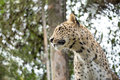 Head shot of Persian leopard Royalty Free Stock Photo