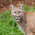 Head Shot Portrait of Beautiful Puma Royalty Free Stock Photo