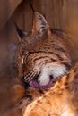 Head shot portrait of lynx in zoo Stock Photo
